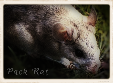 Small Pack Rat