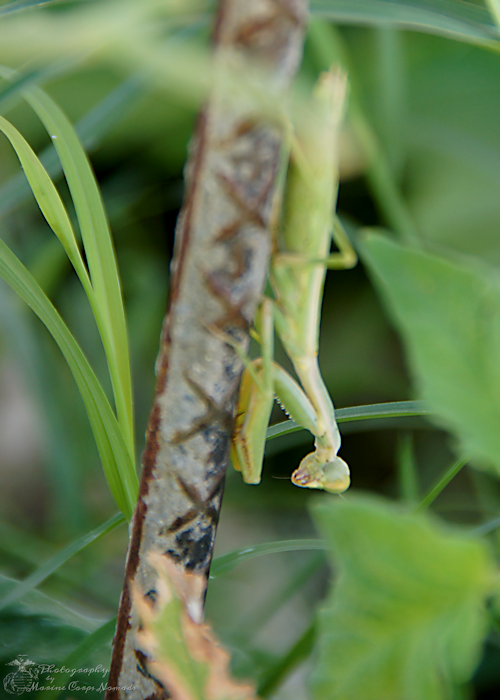 Praying Mantis 1