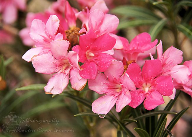 Beautiful pink blooms after the rain