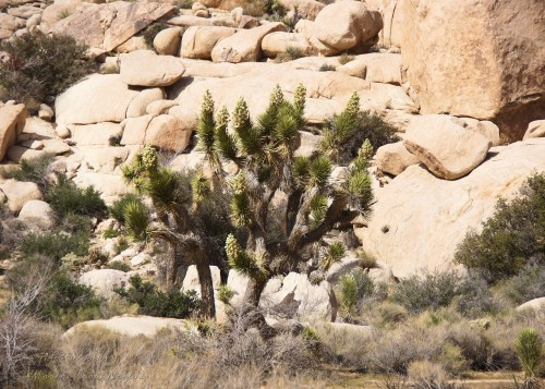 Blooming Joshua Tree