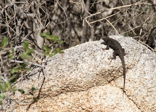 Lizard sunning himself on a rock