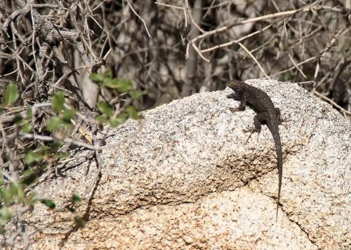 Lizard sunning himself on a rock