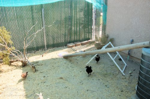 Chicks checking out the new additions to the chicken run