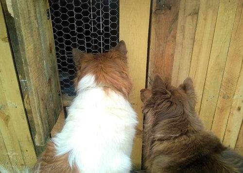 The dogs can be a little too attentive to the chicks as they watch them through the windows.