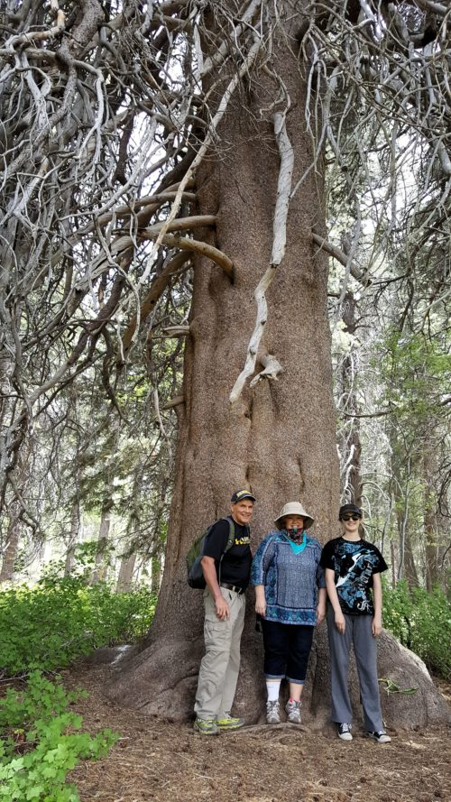 The Champion Lodgepole Pine was absolutely huge