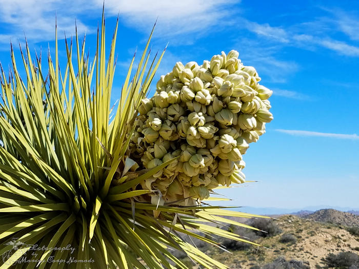 Panorama Loop Trail Hike - Blooming Joshua Tree