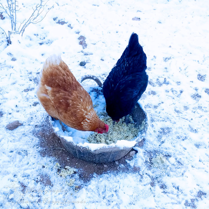 Chickens eating fermented feed in the snow