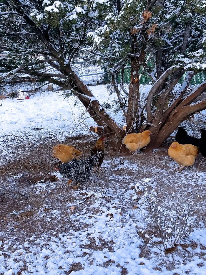 Chickens under snowy tree